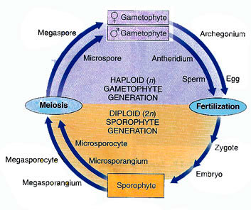 heterosporous life cycle