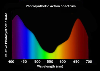effect of various wavelengths of light on photosynthesis Principals of photosynthesis and effects of light on plants  activity illustrates how plants use various colors (wavelengths) of light for different tasks .