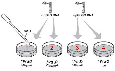pglo transformation lab write up Student manual pglo transformation lesson 1 introduction to transformation in this lab you will perform a procedure known as genetic transformation remember that a gene is a piece of dna which provides the instructions for making (codes for) a protein.